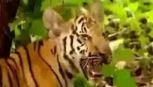 Monkey Teasing Tiger, How Funny