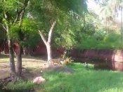 గొప్పకొసం.. సింహాన్ని సవాల్ చేస్తానని ఎన్క్లోజర్లోకి దూకిన వ్యక్తికి జైలు శిక్ష