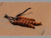 నేపాలీ వయాగ్రా: అద్భుత ఔషధ మూలిక.. డిమాండే డిమాండ్..