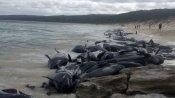 Whales:సముద్రం ఒడ్డున చిక్కుకుపోయిన 400 తిమింగలాలు మృతి.. ఎలా ఇరుక్కుపోయాయి..?