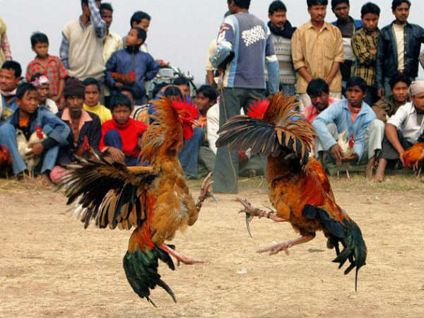 ''COCK FIGHTS'' ready for Sankranthi!