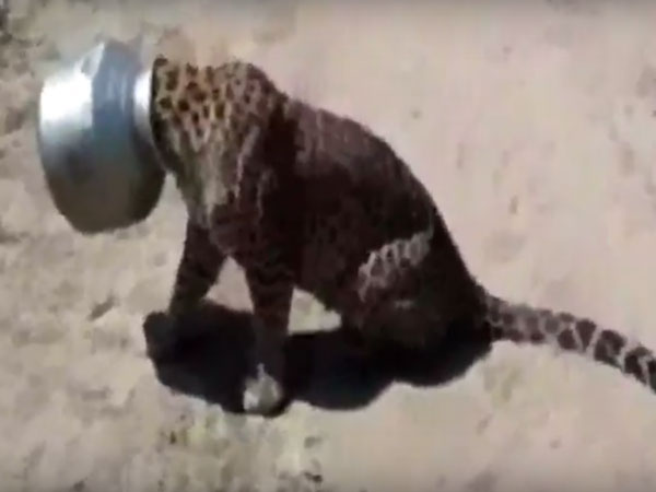 A Leopard S Head Stuck In A Steel Pot In Hoshangabad