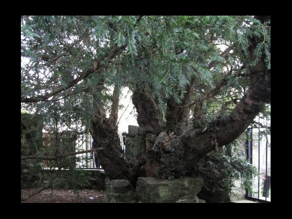 Britain's oldest tree, the Fortingall Yew, is 'undergoing a sex change'