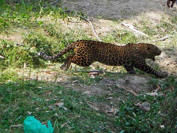 Up Mother Fights Leopard Saves Her 4 Year Old Daughter From His Claws