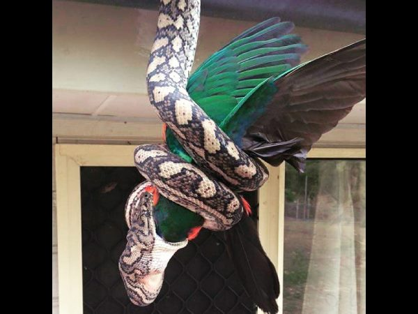 Snake catcher shares amazing pictures showing python eating parrot whole
