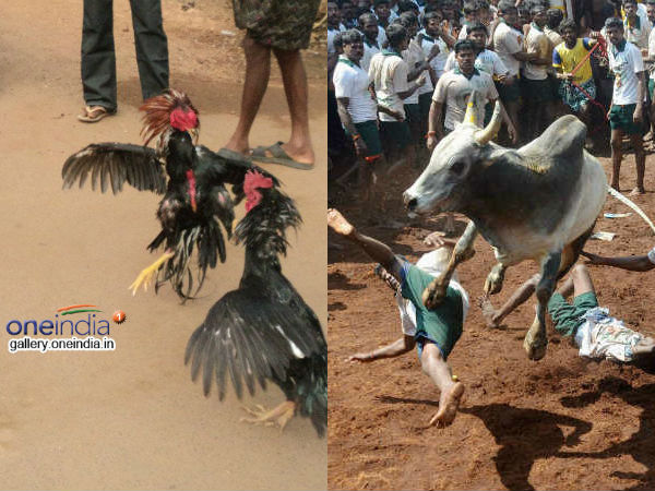 Ap Cockfight Is Game Td Bjp