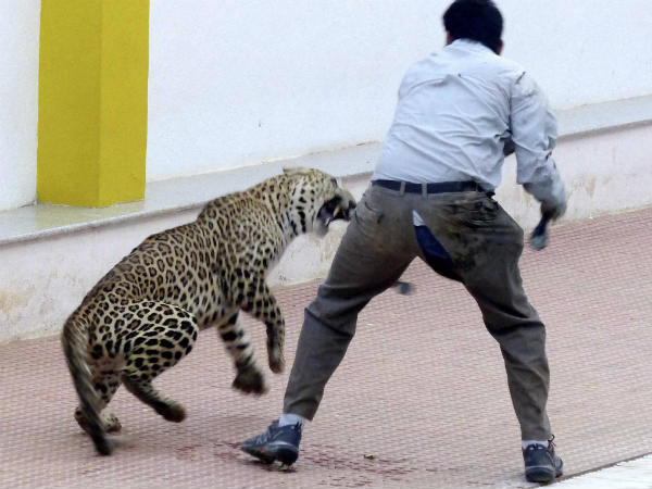Leopard Enters School Bengaluru Tranquillized After 13 Hour Operation