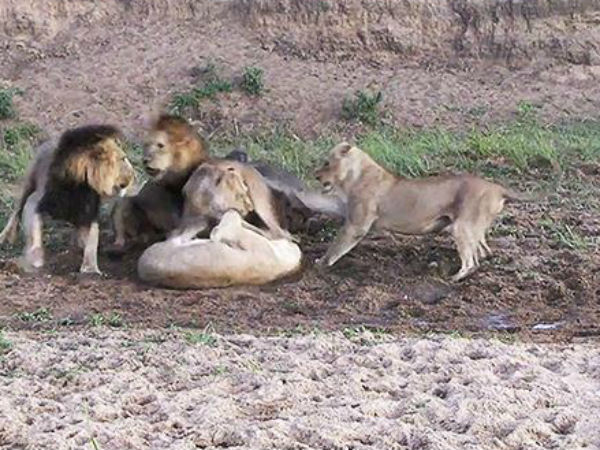 Lucky buffalo miraculously escapes from five lions because of in-fighting