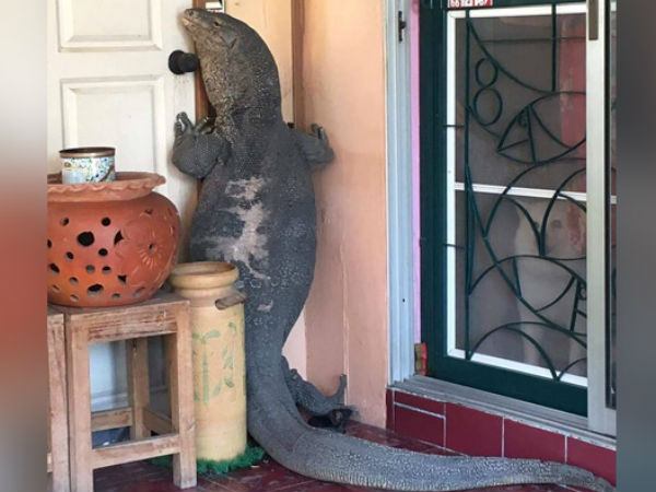 When Godzilla Comes Knocking: Huge Lizard Tries to Enter Home in Thailand