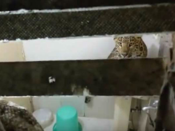 Leopard Enters Hotel Room Nainital