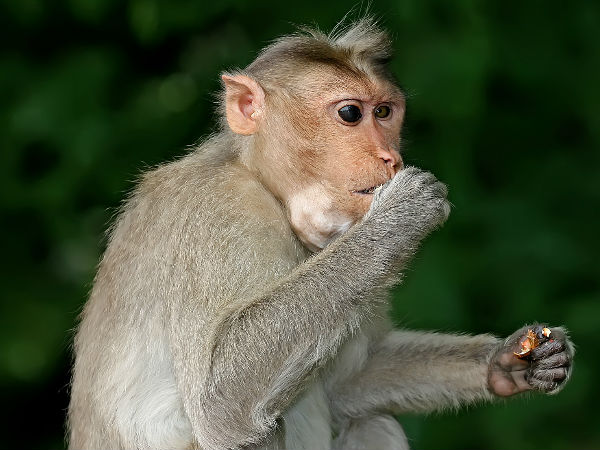 Monkey Attacks On Shops After Drinking Beer