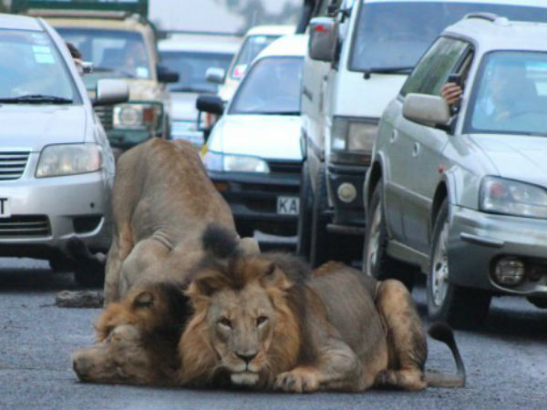 Now that's what you call a tailback! Pride of lions brings traffic