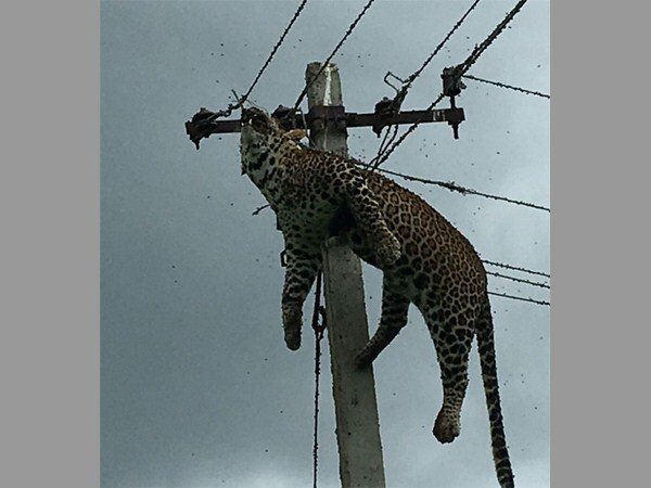 Leopard Die Due Current Shock