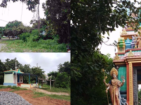 Five Thousands Years Ago Banyan Tree