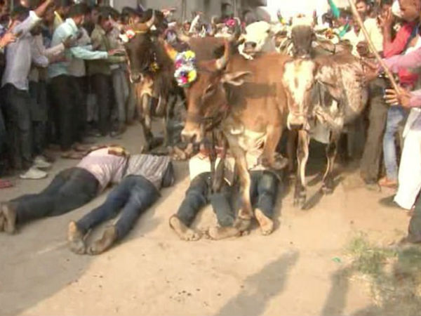 That's got to herd! Indian men volunteer to be run over by cows in Hindu ritual said to bestow good luck