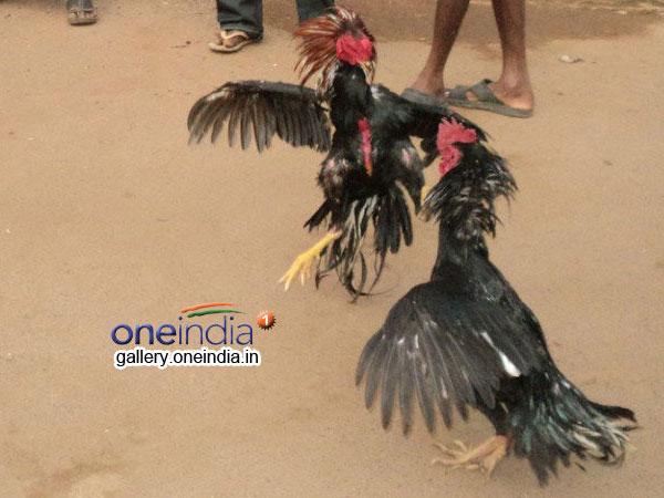 Godavari Districts Cock Fights Become More Special Attracti