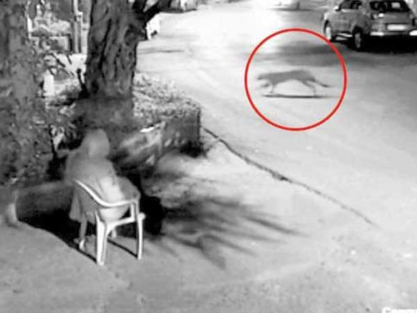 Leopard Visits Hema Malini S Colony Overzealous Guard Runs After It