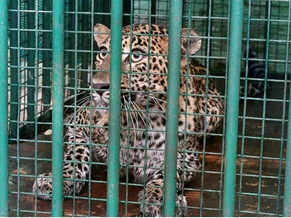 Leopard Captured From House Karnataka Town