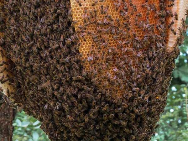 Bee Attack Kills Man Up Leaves Wife Critically Injured