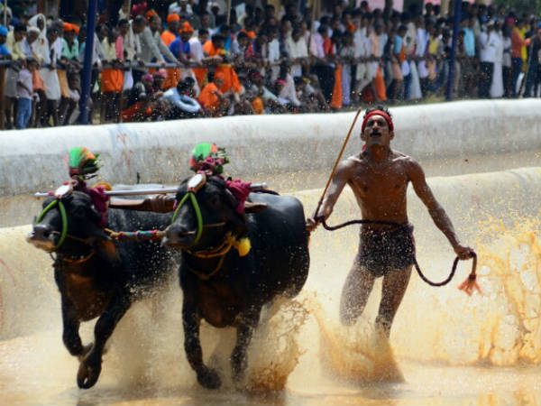 Supreme Court refuses interim-stay on kambala race in Karnataka