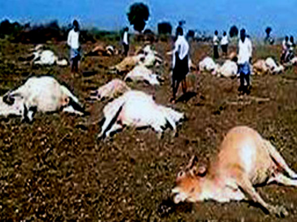 56 cows die after feeding on pesticides in Andhra Pradesh village