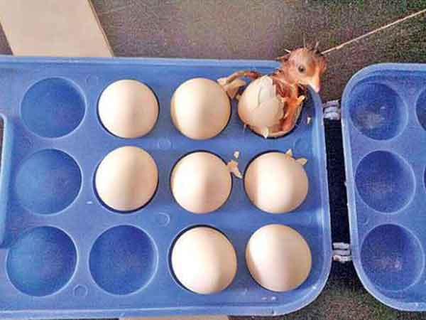 surprise as egg tray produces a chick in Andhra pradesh