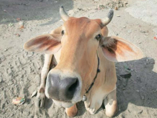 Delhi businessman files complaint against cow