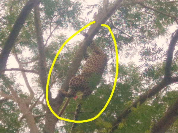 Forest team rescued leopard which was stranded in tree in Mysuru