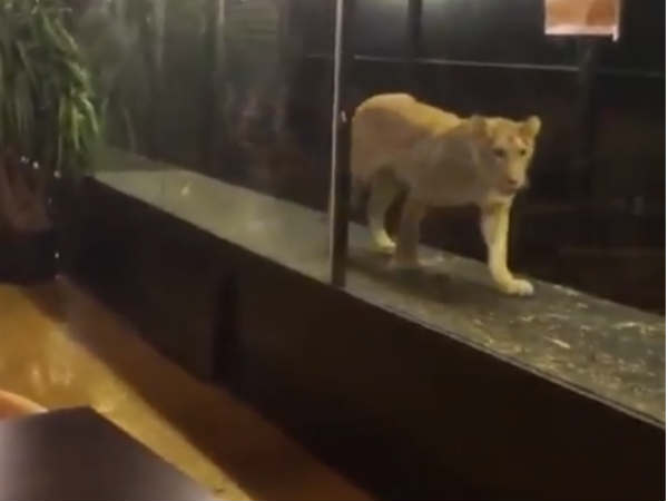 A cafe in Istanbul serves food,while lion walks around