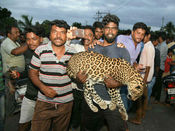 A leopard dies after forest department tried to trap it unscientifically in Mysore