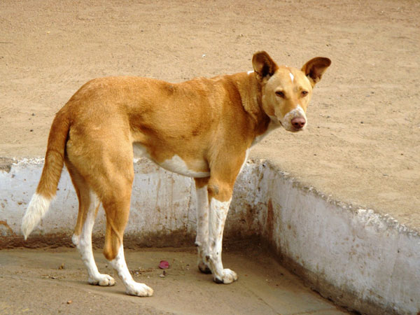 A young man is dead for street dog attacks in Karwar in Karnataka