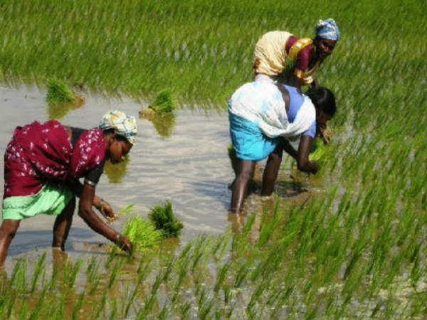 East Godavari district farmers fallowing new method in Paddy Cultivation