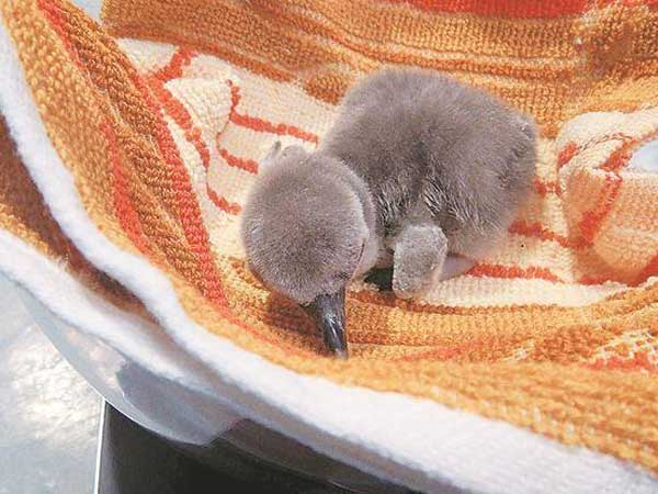 First-ever penguin born in India dies at Mumbai's Byculla zoo