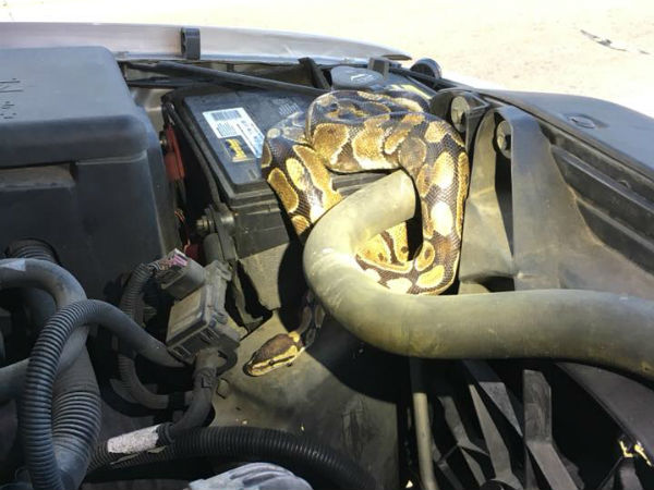 Woman Whose Car Was Running Strangely Finds Huge Python Under Hood