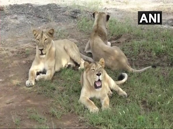 11 lions found dead in Gir forest in 10 days, forest officials suspect infighting