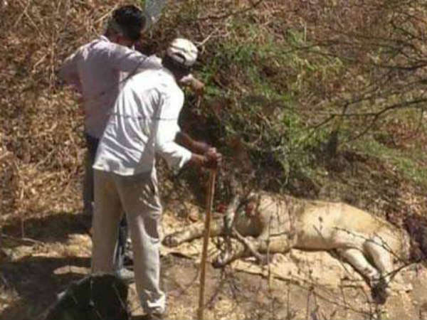 21 Lion Deaths In 18 Days At Gir, Shocker Blamed On Disease, Fights