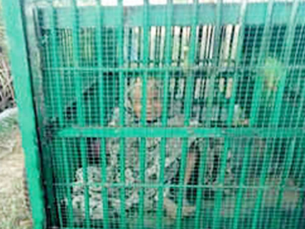 65 yr old woman rescued after being trapped in leopard cage