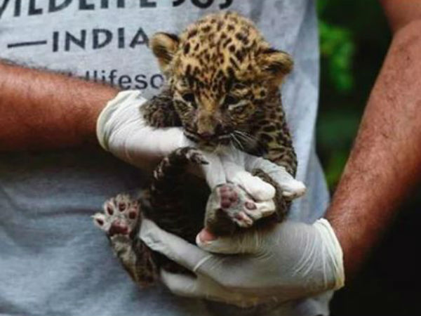 Leopard cub Get into the ATM for avoid cold