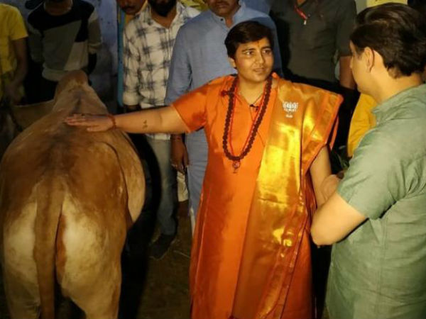 Cow has many medicinal benefits,it has cured my breast cancer:Sadhvi Pragya