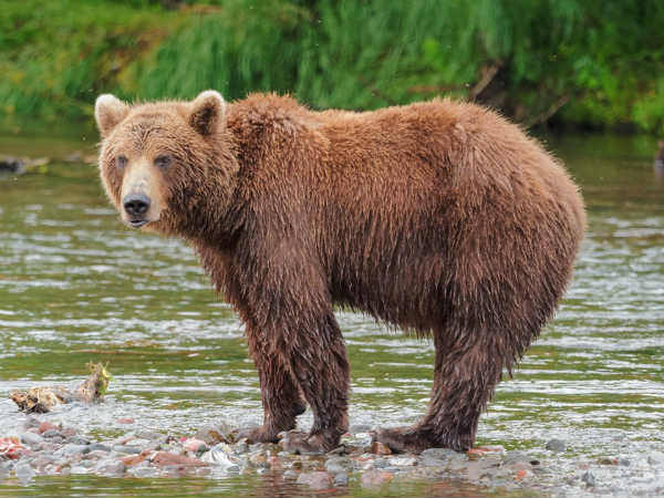 Bear Falls Into River After Stones Thrown At Kargil