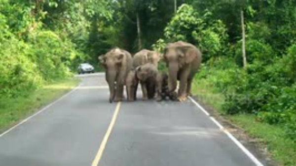 an elephant trudges outside the forest with the dead calf and carefully walks across