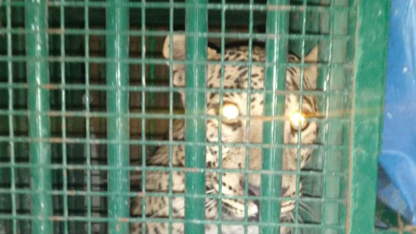 leopard has been caught at icrisat premise
