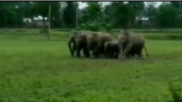 A herd of elephants entered a village destroyed paddy crops