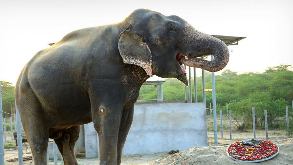 An elephant rescued from captivity to celebrate its 5 years freedom