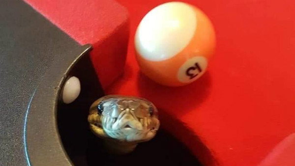 OMG: Python enters a pool table in Brisbane