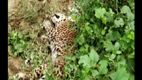 An Injured Leopard Attacked A Man Who Was Clicking Its Pictures