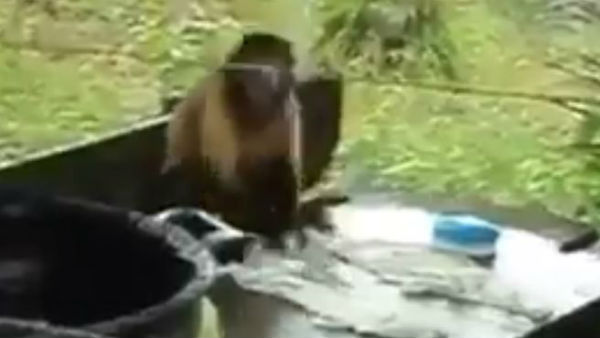 monkey washing clothes viral video