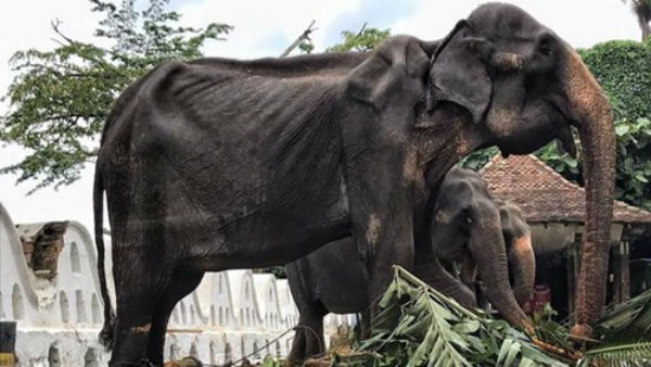 This Starving Elephant Parades All Night To Bless People For A 'Religious Festival'