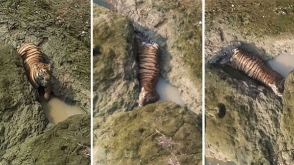 Maharashtra: Tiger trapped in rocks after jumping 35 feet into Sirna river dies in Chandrapur