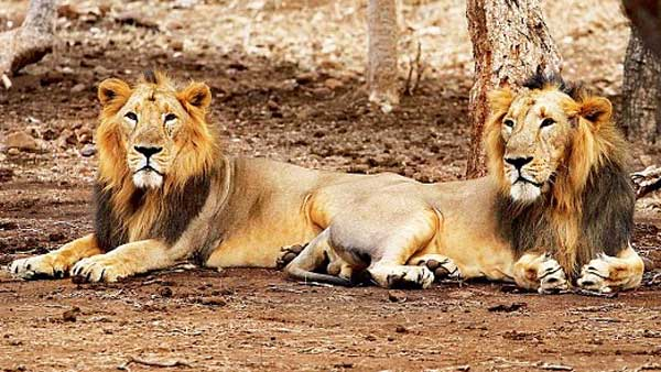 Bike borne men faces Lioness and cubs in Gir forest, see what happens next